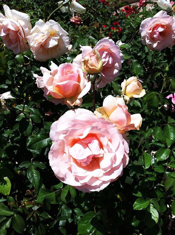Rose Garden in Balboa Park, San Diego California via youmademelikeyou.com