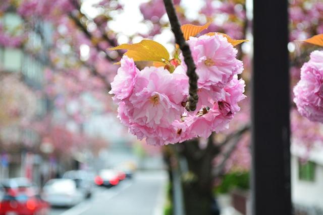 Cherry Blossom Tokyo Japan via youmademelikeyou.com